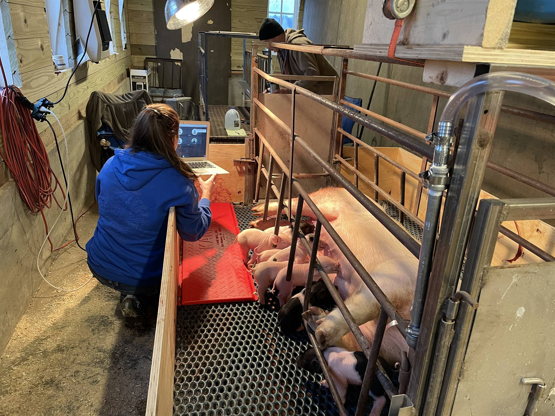 Virtual Learning with our new Baby Pigs
