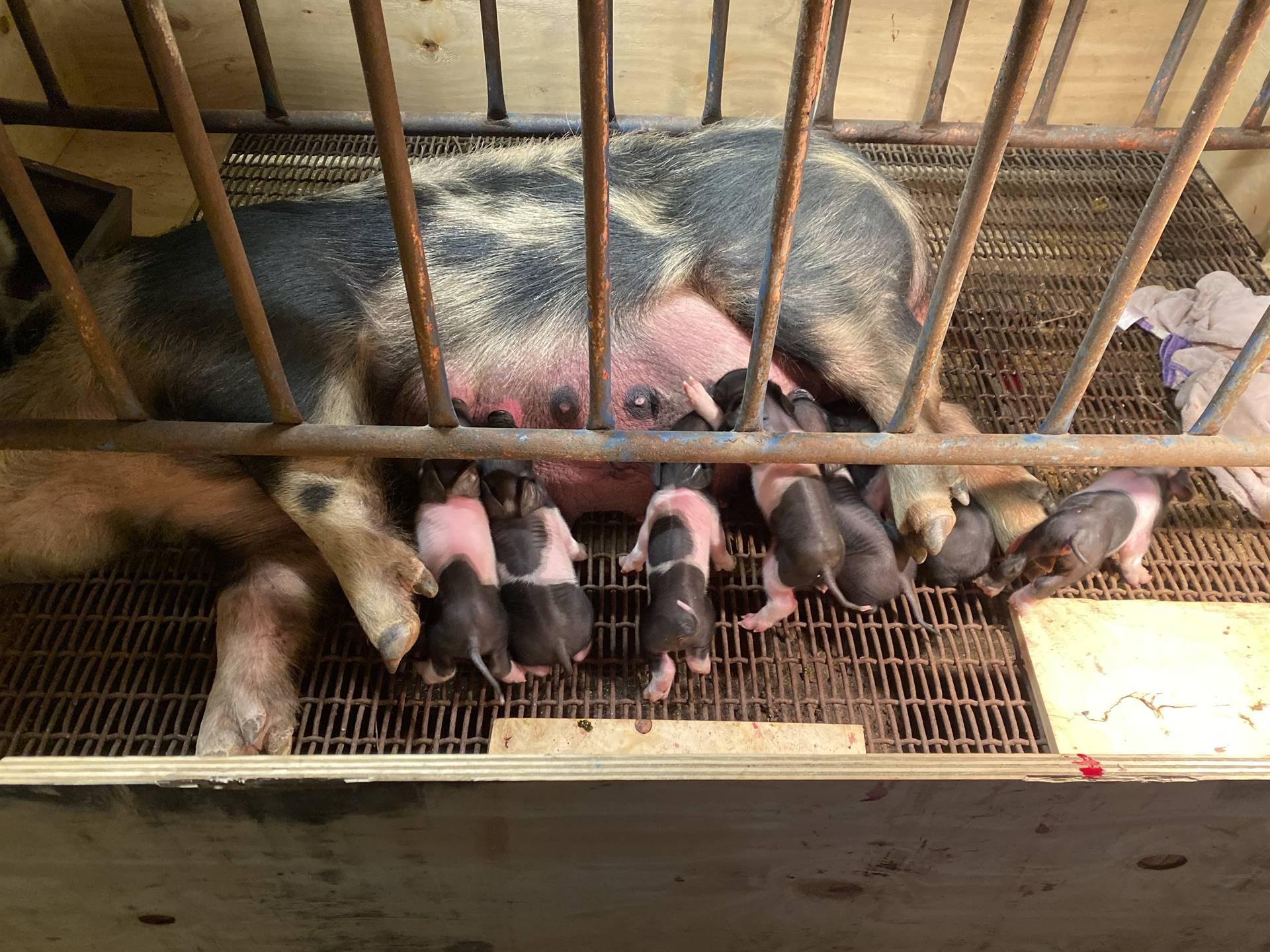 New Piglets at the Farm