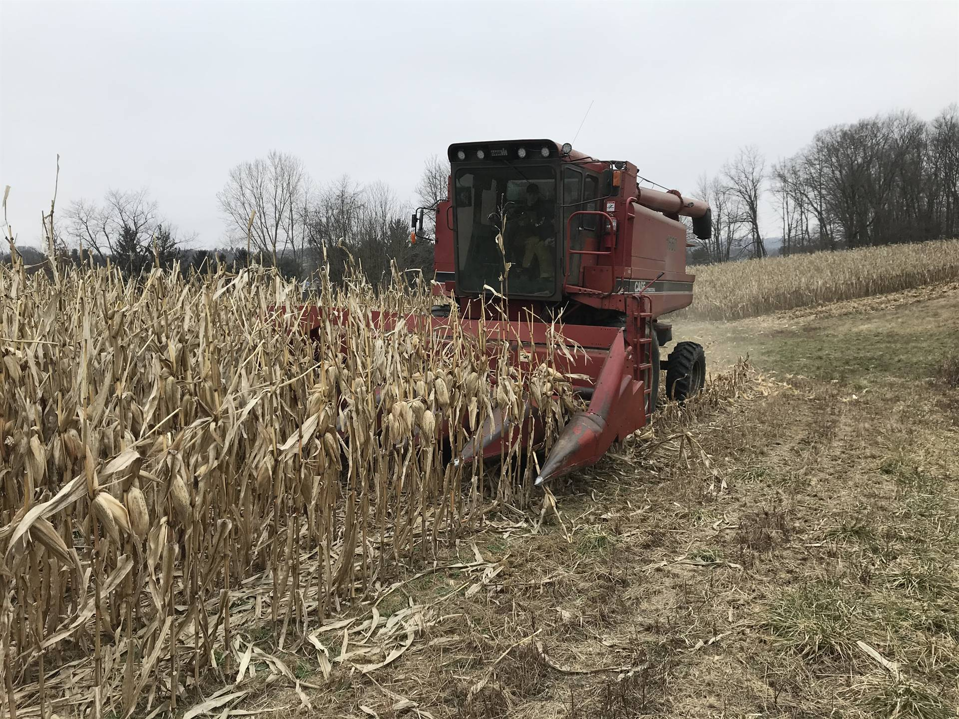 Taking down corn and calculating yield at the Farm