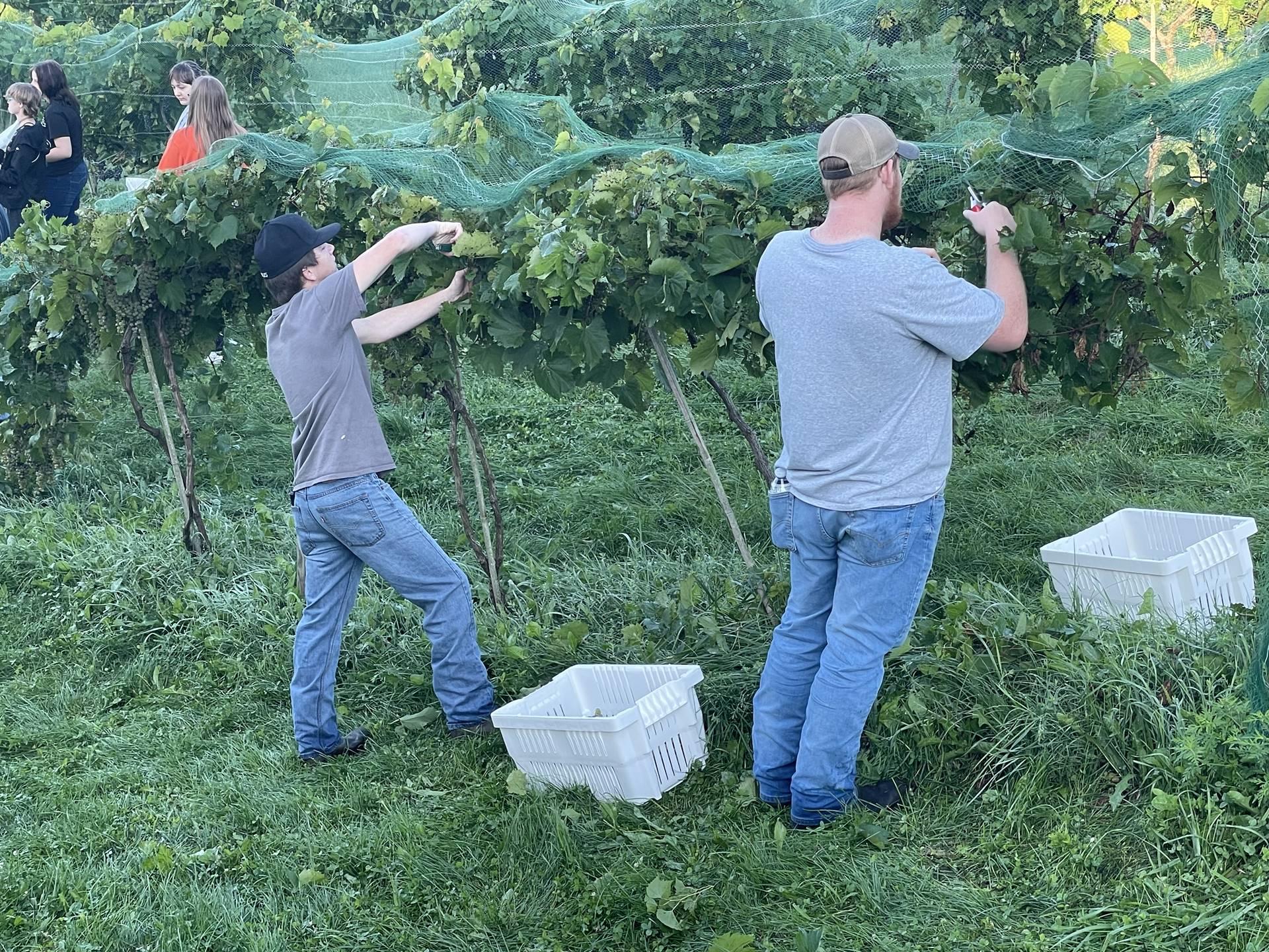 FFA Harvesting Grapes at the Vineyard